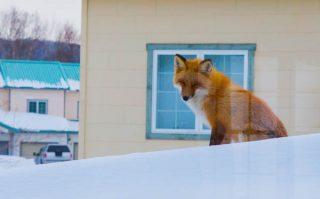 狐が笑っている
